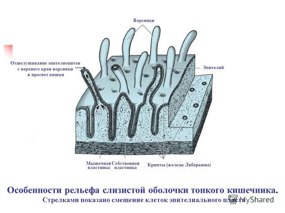 Особенности рельефа слизистой оболочки тонкого кишечника. Стрелками показано смещение клеток эпителиального пласта Ворсинки Эпителий Собственная пластинка Мышечная пластинка Отшелушивание эпителиоцитов с верхнего края ворсинки в просвет кишки Крипты