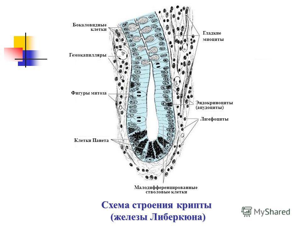 Схема строения крипты (железы Либеркюна) Клетки Панета Бокаловидные клетки Гемокапилляры Фигуры митоза Лимфоциты Эндокриноциты (апудоциты) Гладкие миоциты Малодифференцированные стволовые клетки