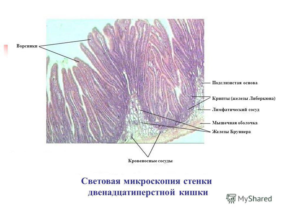 Световая микроскопия стенки двенадцатиперстной кишки Кровеносные сосуды Лимфатический сосуд Подслизистая основа Ворсинки Крипты (железы Либеркюна) Мышечная оболочка Железы Бруннера
