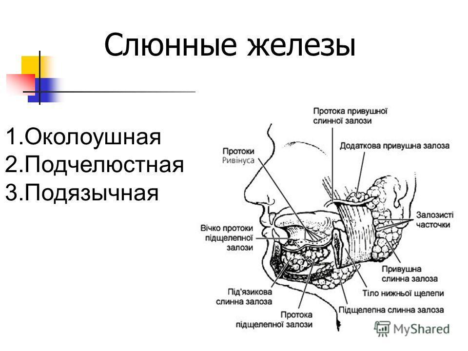 Слюнные железы 1.Околоушная 2.Подчелюстная 3.Подязычная