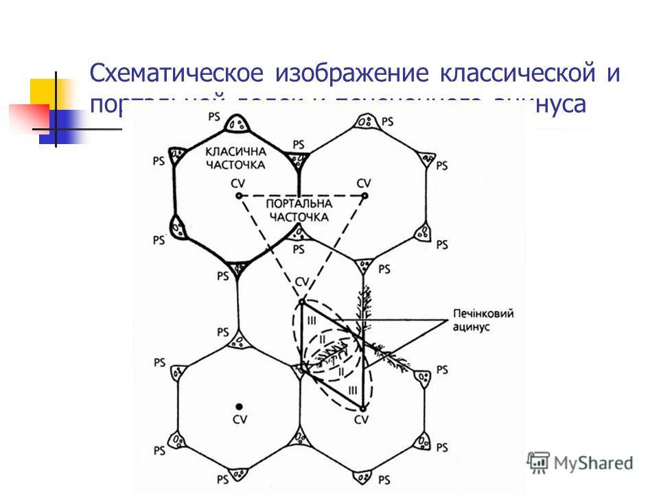 Схематическое изображение классической и портальной долек и печеночного ацинуса