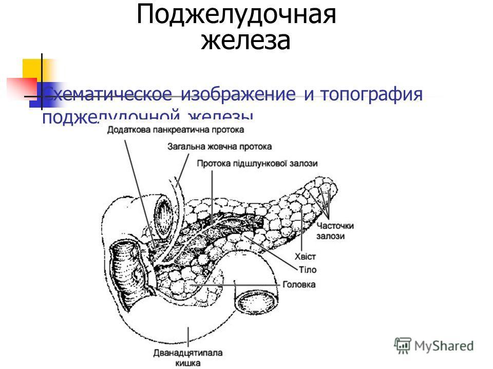 Схематическое изображение и топография поджелудочной железы Поджелудочная железа