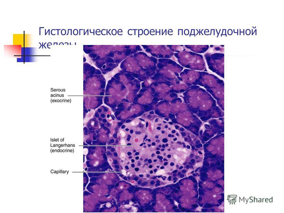 Гистологическое строение поджелудочной железы