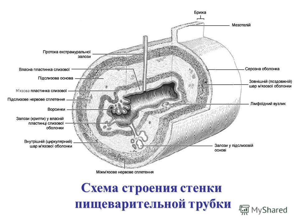 Схема строения стенки пищеварительной трубки