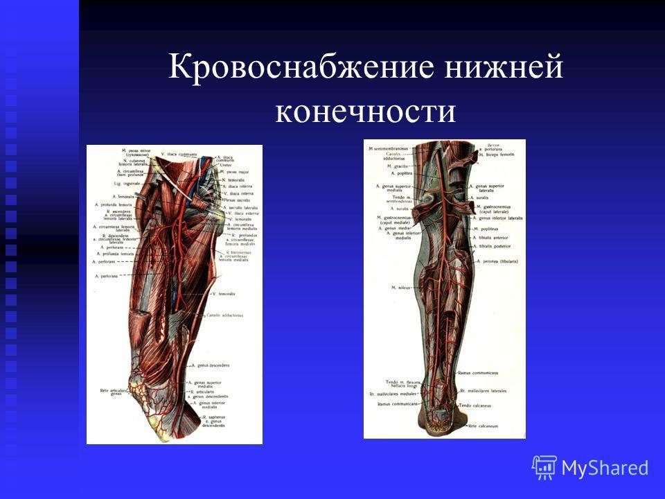 Кровоснабжение нижней конечности