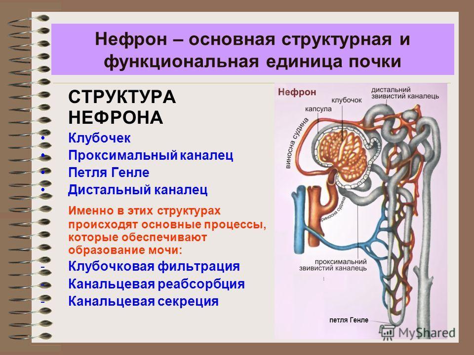 Нефрон – основная структурная и функциональная единица почки СТРУКТУРА НЕФРОНА Клубочек Проксимальный каналец Петля Генле Дистальный каналец Именно в этих структурах происходят основные процессы, которые обеспечивают образование мочи: -Клубочковая фи