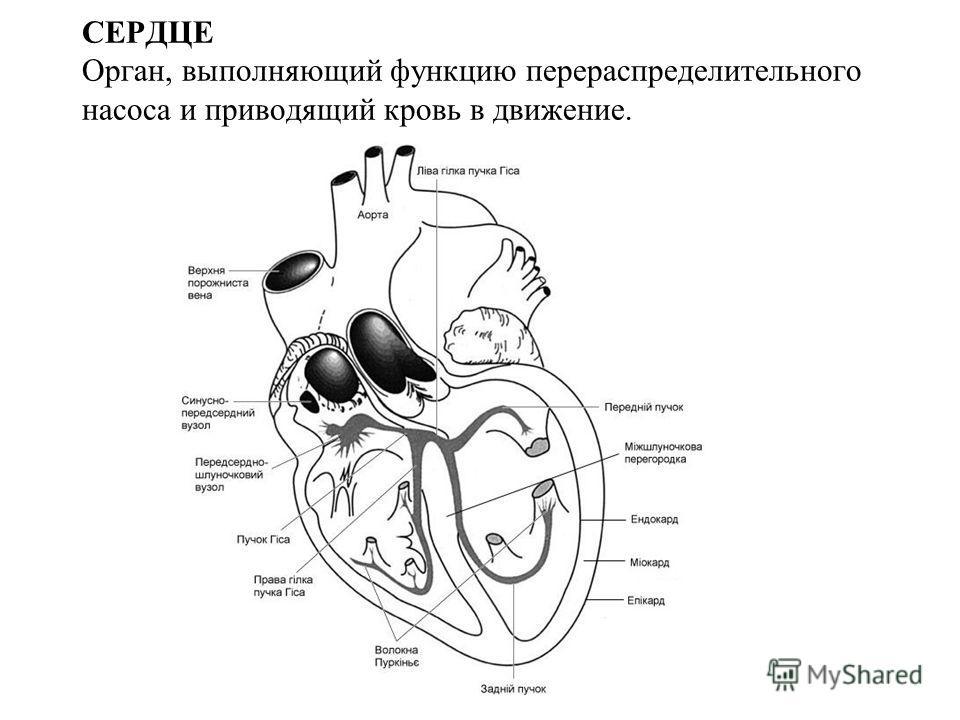 СЕРДЦЕ Орган, выполняющий функцию перераспределительного насоса и приводящий кровь в движение.