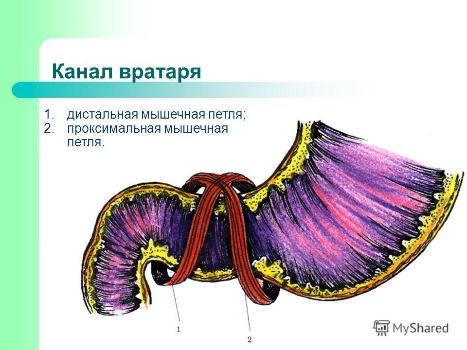 Канал вратаря 1.дистальная мышечная петля; 2.проксимальная мышечная петля.