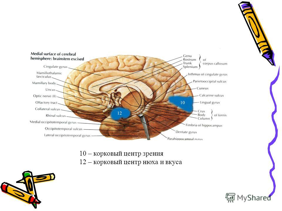 10 – корковый центр зрения 12 – корковый центр нюха и вкуса