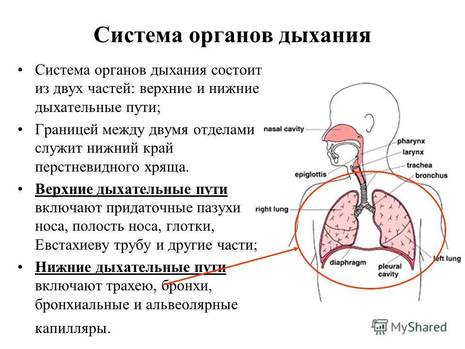 Система органов дыхания Система органов дыхания состоит из двух частей: верхние и нижние дыхательные пути; Границей между двумя отделами служит нижний край перстневидного хряща. Верхние дыхательные пути включают придаточные пазухи носа, полость носа,