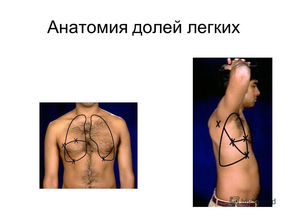 Анатомия долей легких