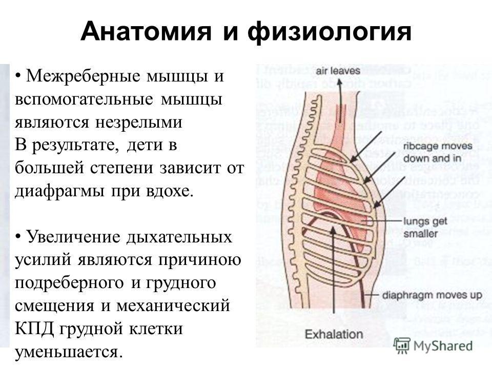 Анатомия и физиология Межреберные мышцы и вспомогательные мышцы являются незрелыми В результате, дети в большей степени зависит от диафрагмы при вдохе. Увеличение дыхательных усилий являются причиною подреберного и грудного смещения и механический КП