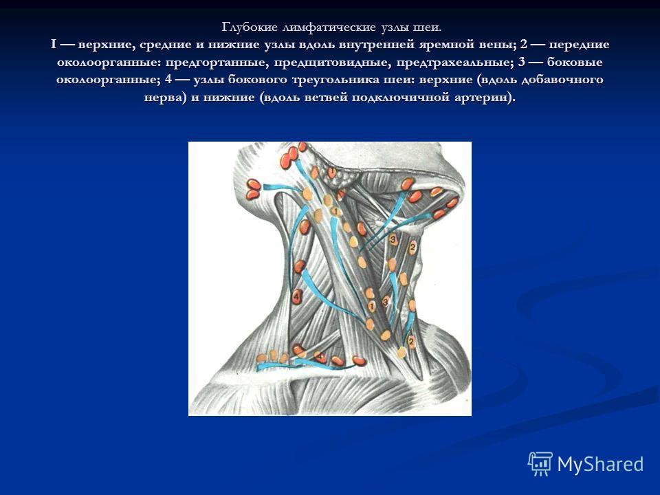 Глубокие лимфатические узлы шеи. I верхние, средние и нижние узлы вдоль внутренней яремной вены; 2 передние околоорганные: предгортанные, предщитовидные, предтрахеальные; 3 боковые околоорганные; 4 узлы бокового треугольника шеи: верхние (вдоль добав