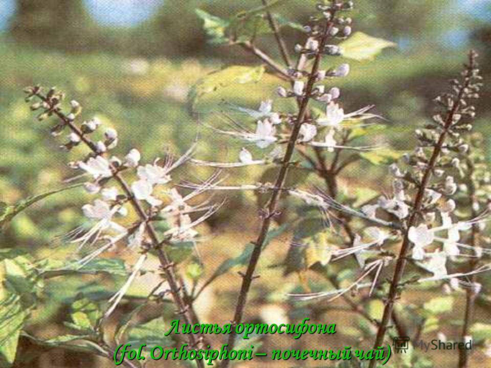 Листья ортосифона (fol. Orthosiphoni – почечный чай)