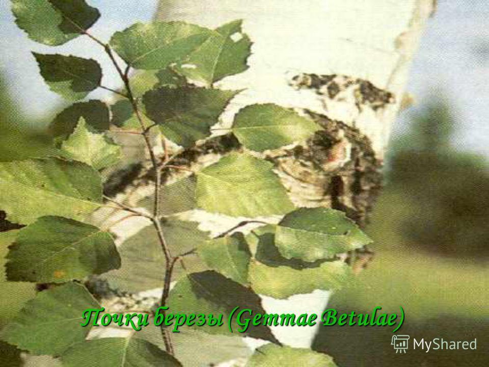 Почки березы (Gemmae Betulae)