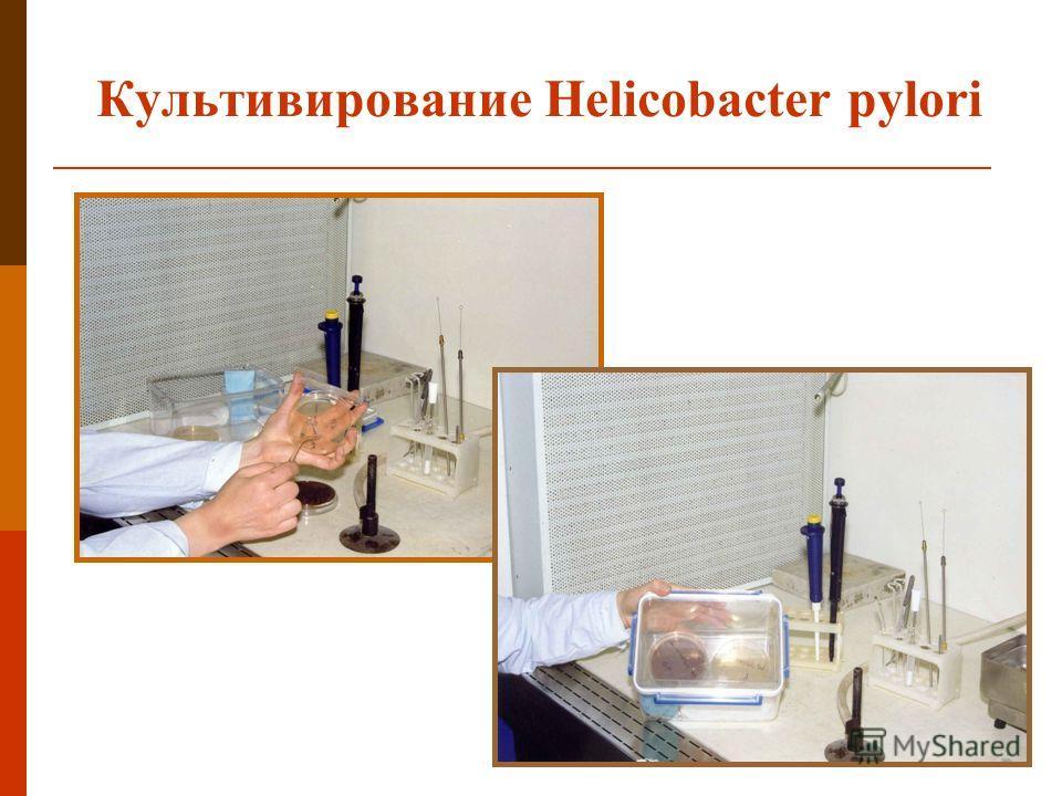 Культивирование Helicobacter pylori