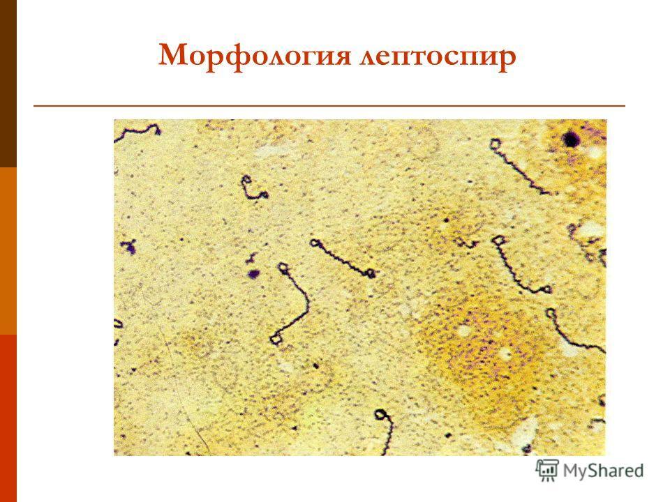 Морфология лептоспир