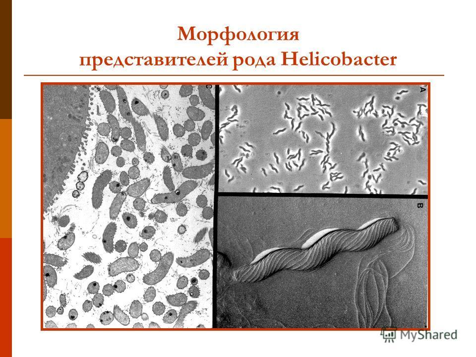Морфология представителей рода Helicobacter
