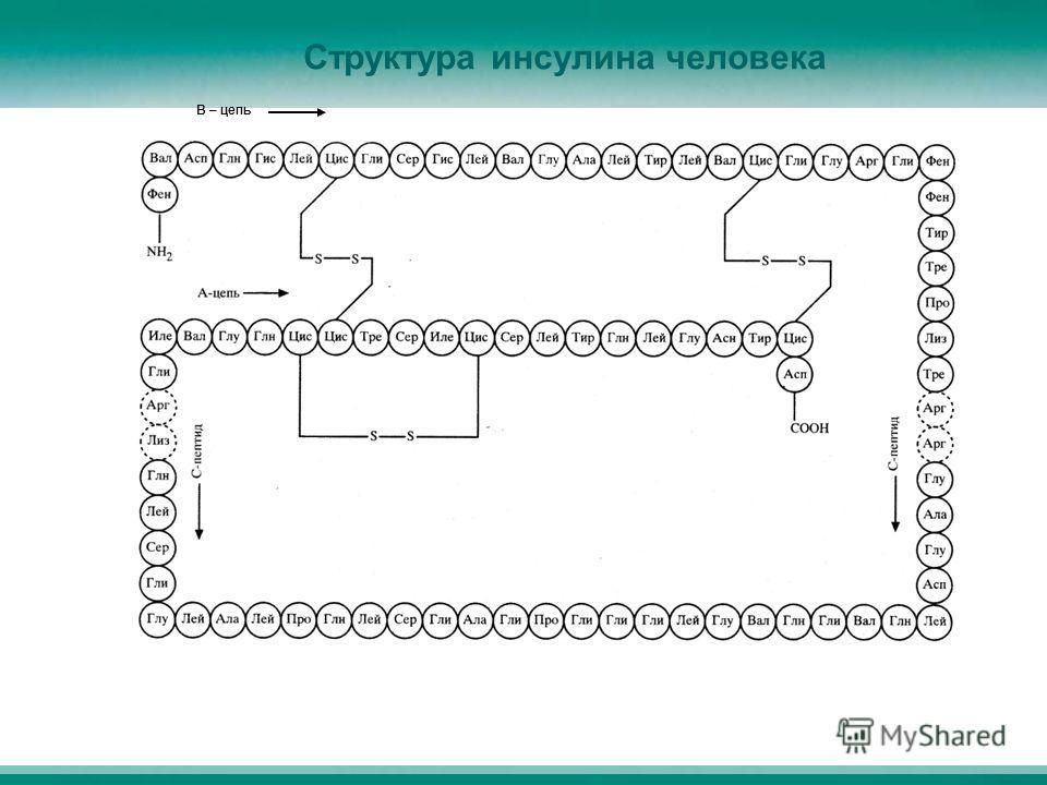 Структура инсулина человека В – цепь