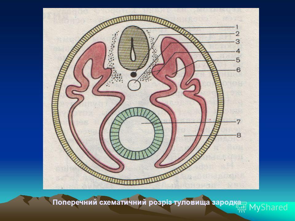 Поперечний схематичний розріз туловища зародка