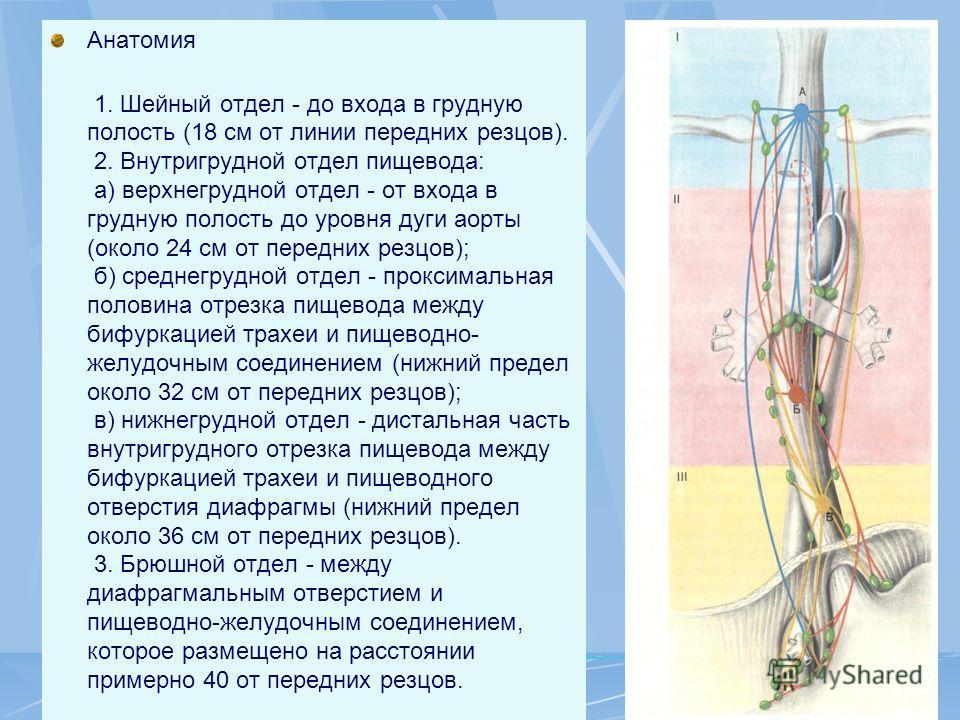 Анатомия 1. Шейный отдел - до входа в грудную полость (18 см от линии передних резцов). 2. Внутригрудной отдел пищевода: а) верхнегрудной отдел - от входа в грудную полость до уровня дуги аорты (около 24 см от передних резцов); б) среднегрудной отдел