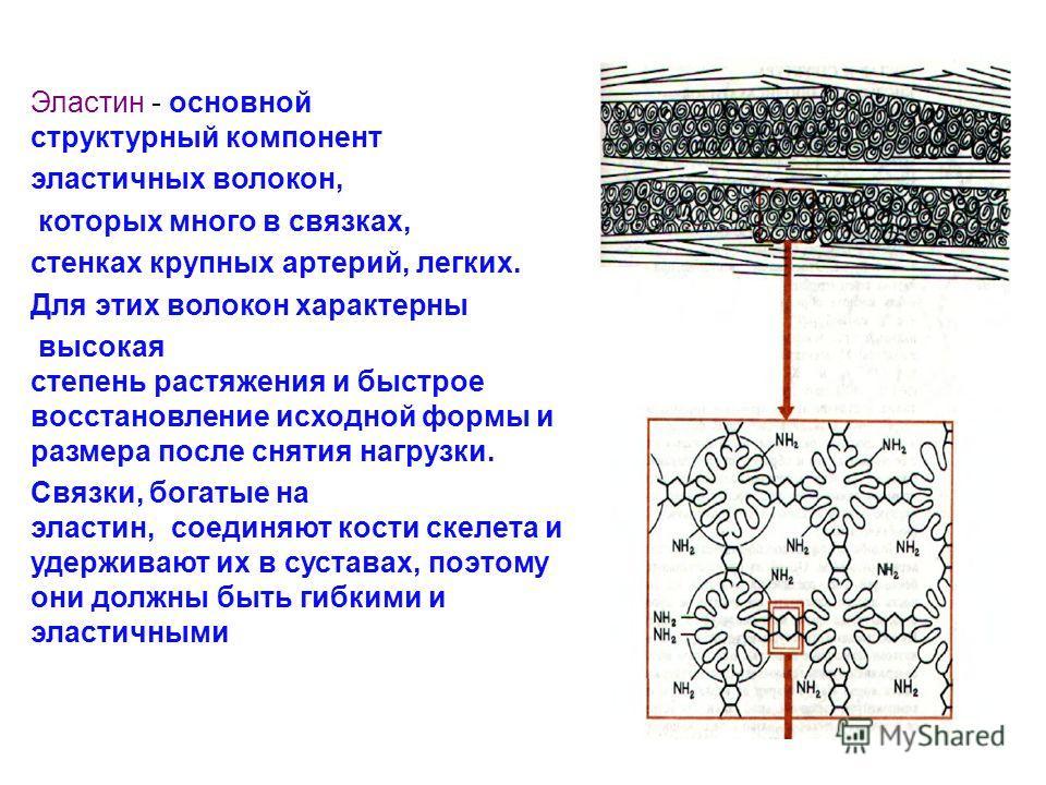 Эластин - основной структурный компонент эластичных волокон, которых много в связках, стенках крупных артерий, легких. Для этих волокон характерны высокая степень растяжения и быстрое восстановление исходной формы и размера после снятия нагрузки. Свя