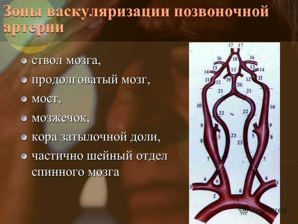 Vasilishin W Зоны васкуляризации позвоночной артерии ствол мозга, продолговатый мозг, мост,мозжечок, кора затылочной доли, частично шейный отдел спинного мозга