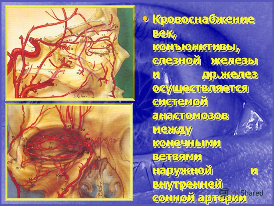 Кровоснабжение век, конъюнктивы, слезной железы и др.желез осуществляется системой анастомозов между конечными ветвями наружной и внутренней сонной артерии Кровоснабжение век, конъюнктивы, слезной железы и др.желез осуществляется системой анастомозов