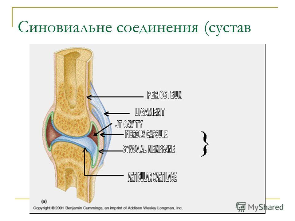 Синовиальне соединения (сустав