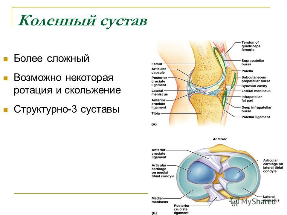 Коленный сустав Более сложный Возможно некоторая ротация и скольжение Структурно-3 суставы