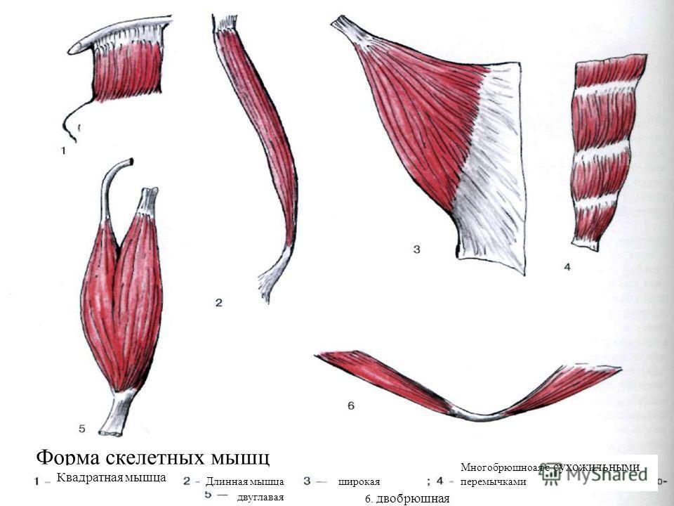 Какую форму имеют скелетные мышцы