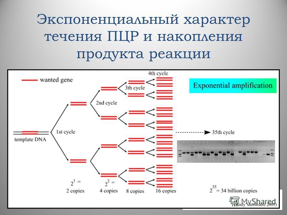 Экспоненциальный характер течения ПЦР и накопления продукта реакции