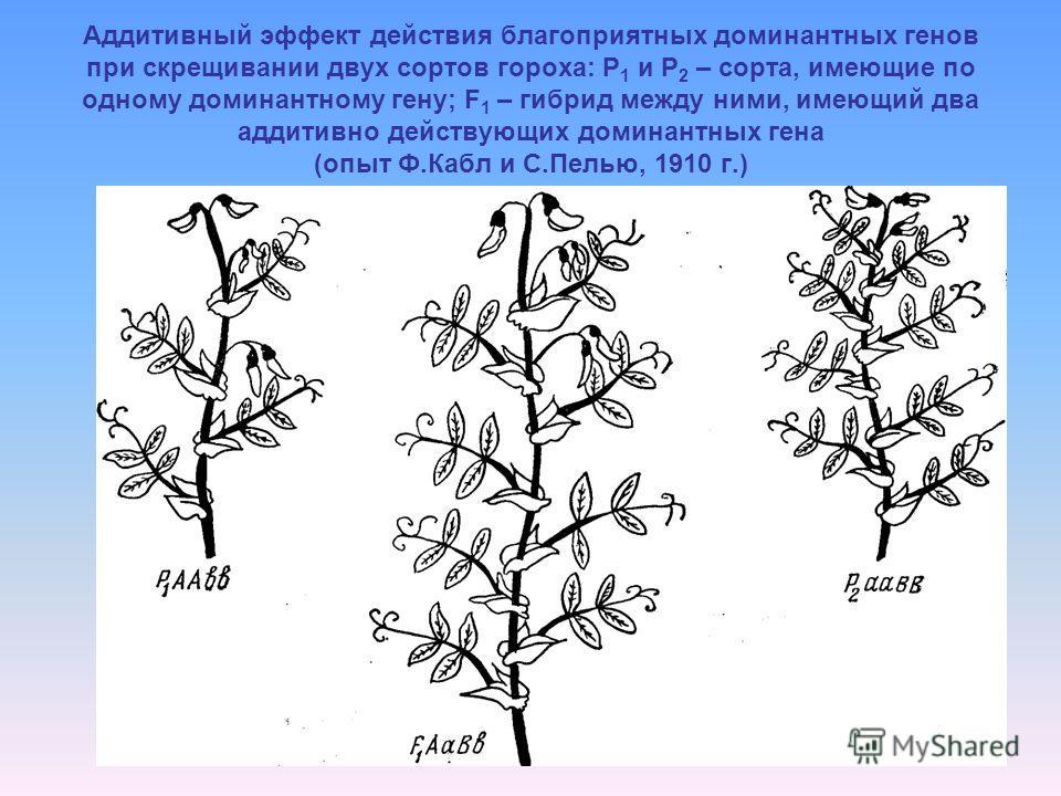 Аддитивный эффект действия благоприятных доминантных генов при скрещивании двух сортов гороха: Р 1 и Р 2 – сорта, имеющие по одному доминантному гену; F 1 – гибрид между ними, имеющий два аддитивно действующих доминантных гена (опыт Ф.Кабл и С.Пелью,