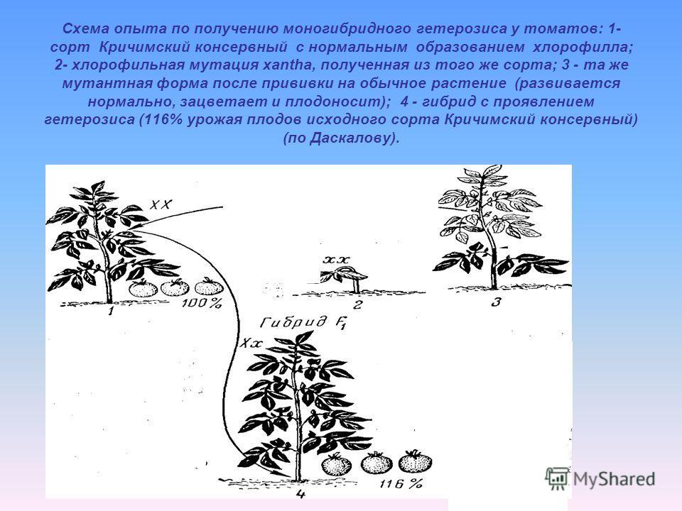 Схема опыта по получению моногибридного гетерозиса у томатов: 1- сорт Кричимский консервный с нормальным образованием хлорофилла; 2- хлорофильная мутация xantha, полученная из того же сорта; 3 - та же мутантная форма после прививки на обычное растени