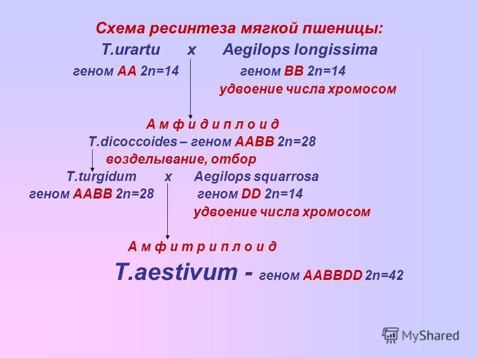 Схема ресинтеза мягкой пшеницы: T.urartu x Aegilops longissima геном АА 2n=14 геном ВВ 2n=14 удвоение числа хромосом А м ф и д и п л о и д T.dicoccoides – геном ААВВ 2n=28 возделывание, отбор T.turgidum x Aegilops squarrosa геном ААВВ 2n=28 геном DD