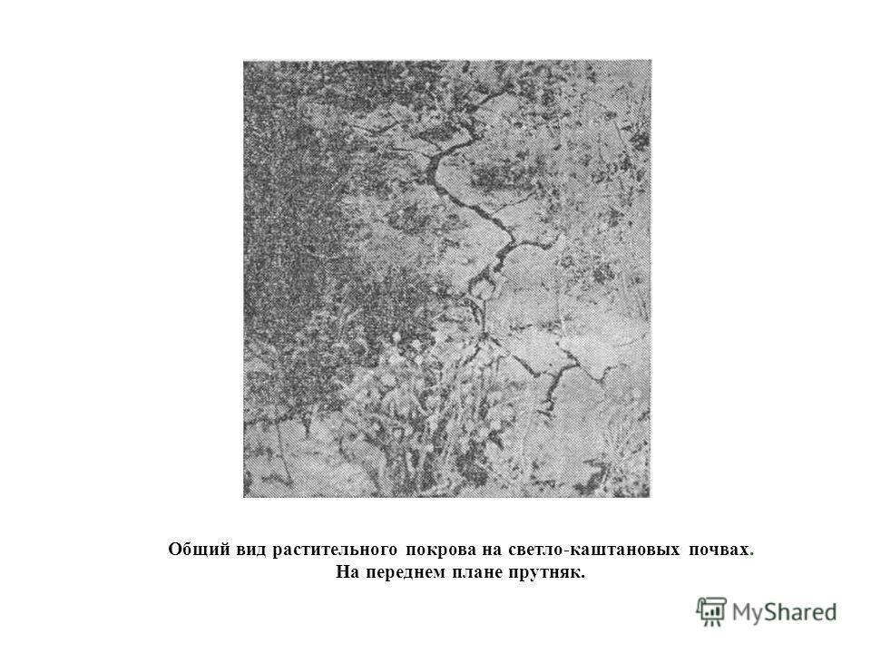 Общий вид растительного покрова на светло-каштановых почвах. На переднем плане прутняк.