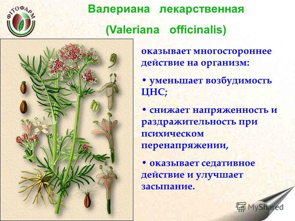 Валериана лекарственная (Valeriana officinalis) оказывает многостороннее действие на организм: уменьшает возбудимость ЦНС; снижает напряженность и раздражительность при психическом перенапряжении, оказывает седативное действие и улучшает засыпание.