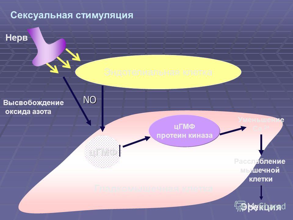 цГМФ протеин киназа Высвобождение оксида азота Нерв Уменьшение Ca 2+ Расслабление мышечной клетки Эрекция Гладкомышечная клетка Сексуальная стимуляция Эндотелиальная клетка цГМФ NO