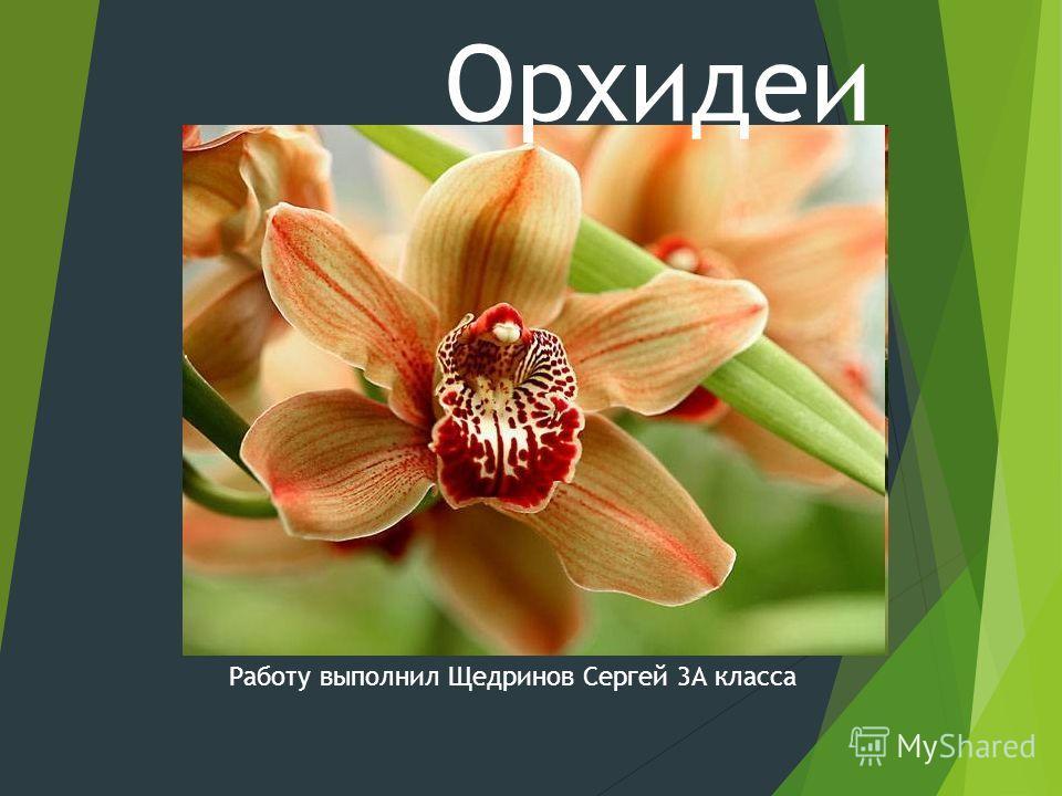 Орхидеи Работу выполнил Щедринов Сергей 3А класса
