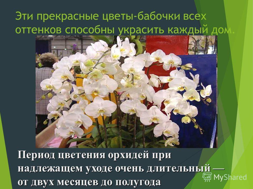 Эти прекрасные цветы-бабочки всех оттенков способны украсить каждый дом. Период цветения орхидей при надлежащем уходе очень длительный от двух месяцев до полугода
