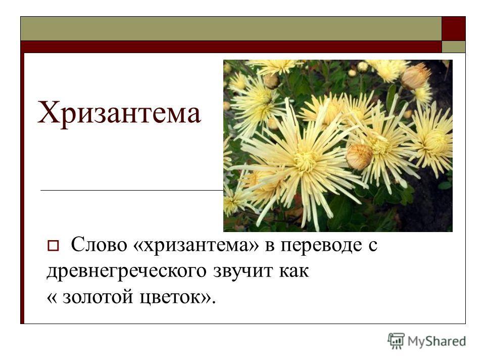 Хризантема Слово «хризантема» в переводе с древнегреческого звучит как « золотой цветок».