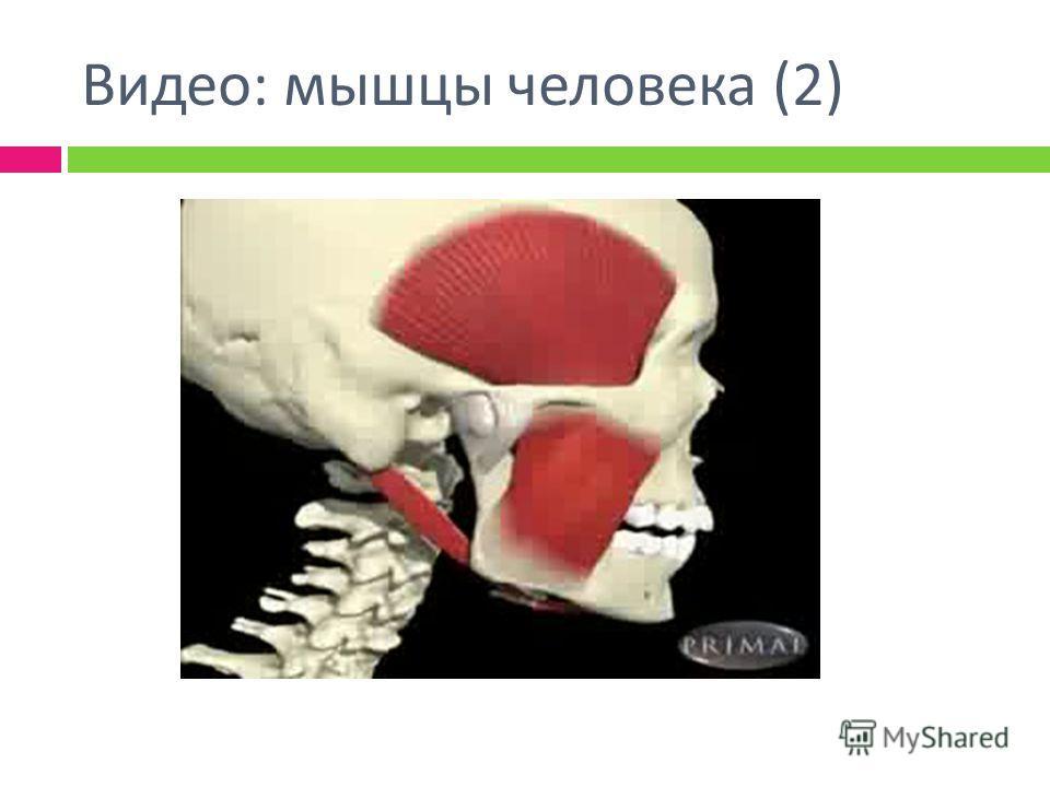 Видео : мышцы человека (2)