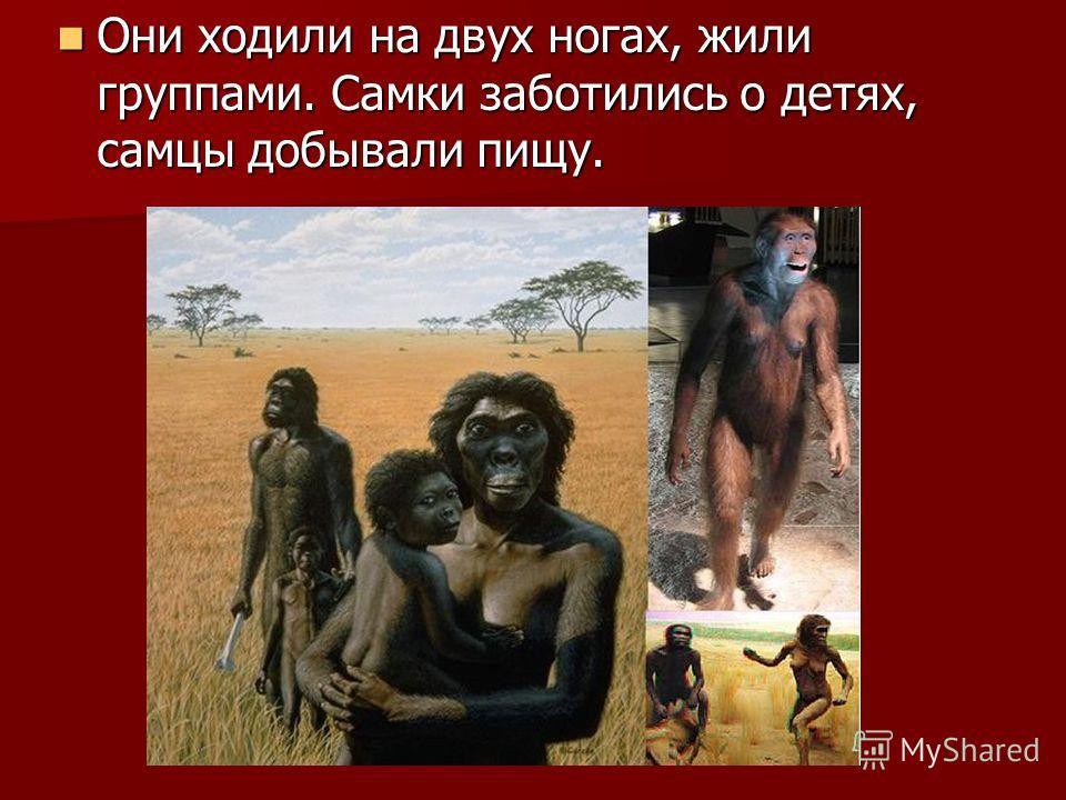 Они ходили на двух ногах, жили группами. Самки заботились о детях, самцы добывали пищу. Они ходили на двух ногах, жили группами. Самки заботились о детях, самцы добывали пищу.