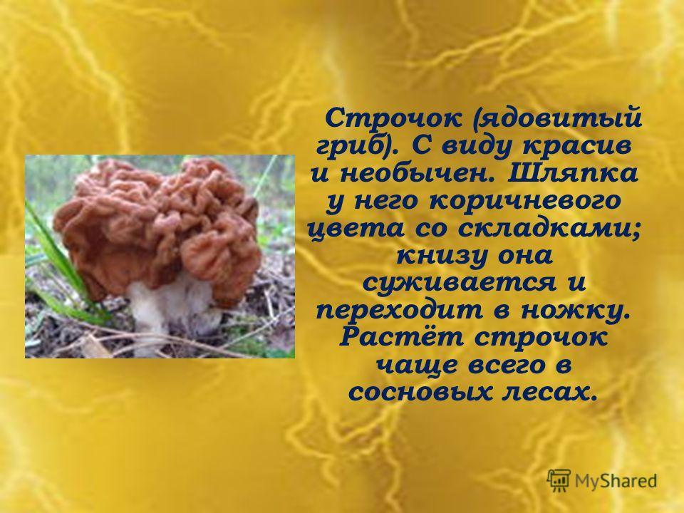 Строчок (ядовитый гриб). С виду красив и необычен. Шляпка у него коричневого цвета со складками; книзу она суживается и переходит в ножку. Растёт строчок чаще всего в сосновых лесах.
