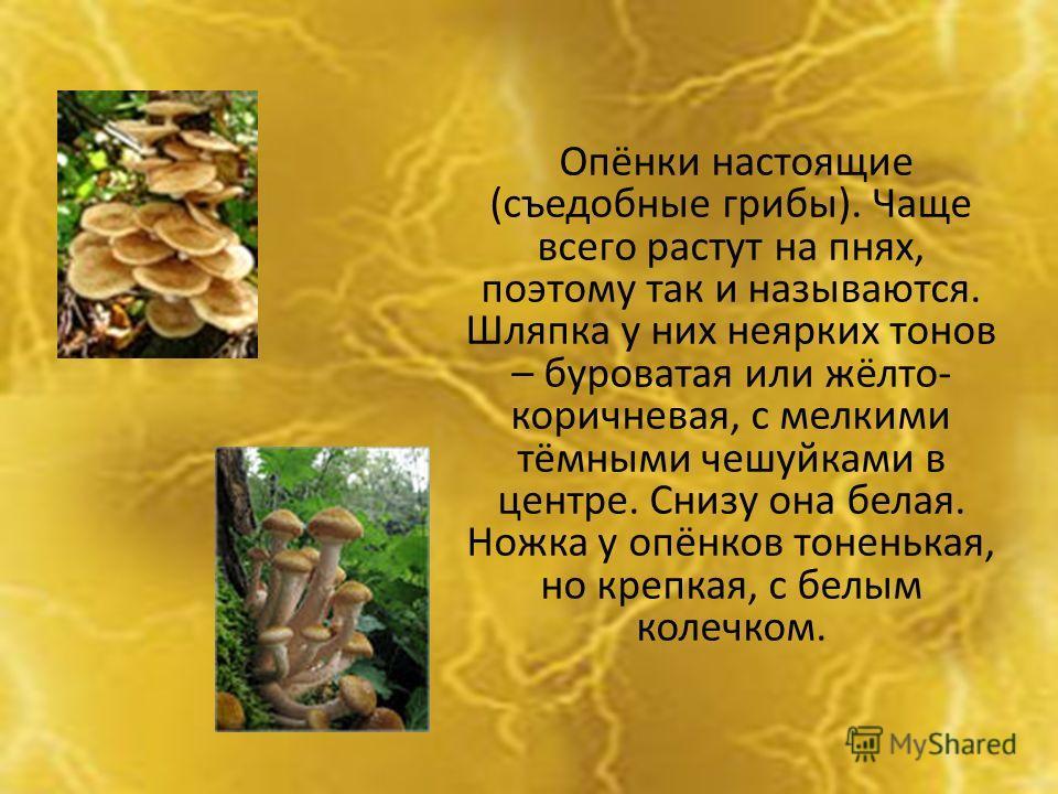 Опёнки настоящие (съедобные грибы). Чаще всего растут на пнях, поэтому так и называются. Шляпка у них неярких тонов – буроватая или жёлто- коричневая, с мелкими тёмными чешуйками в центре. Снизу она белая. Ножка у опёнков тоненькая, но крепкая, с бел