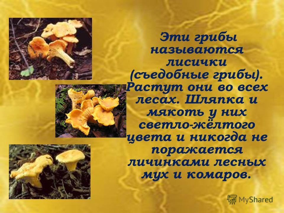 Эти грибы называются лисички (съедобные грибы). Растут они во всех лесах. Шляпка и мякоть у них светло-жёлтого цвета и никогда не поражается личинками лесных мух и комаров.