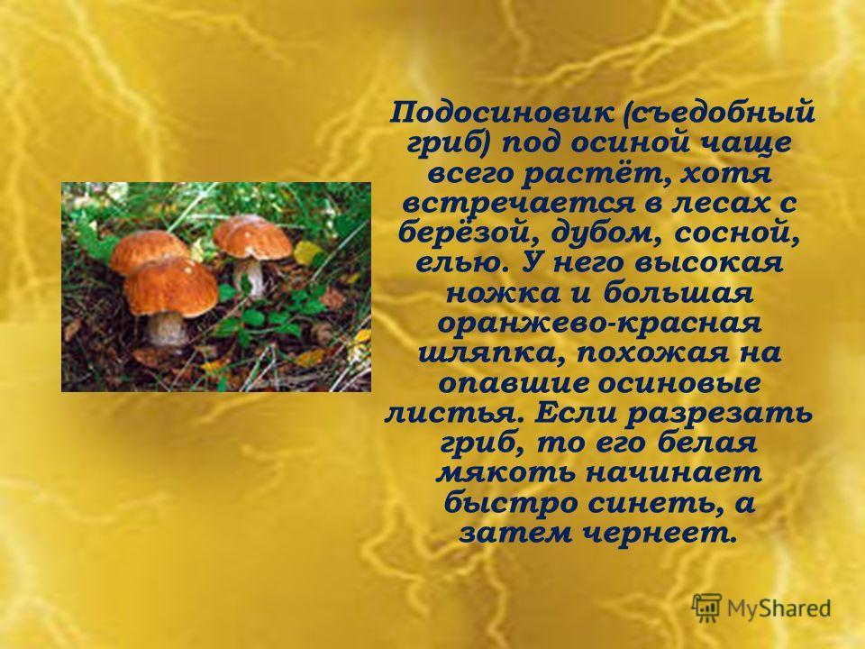 Подосиновик (съедобный гриб) под осиной чаще всего растёт, хотя встречается в лесах с берёзой, дубом, сосной, елью. У него высокая ножка и большая оранжево-красная шляпка, похожая на опавшие осиновые листья. Если разрезать гриб, то его белая мякоть н