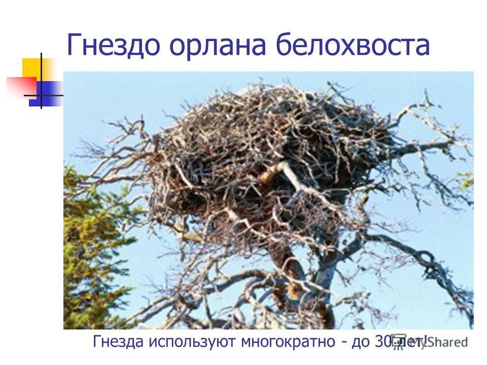 Гнездо орлана белохвоста Гнезда используют многократно - до 30 лет!