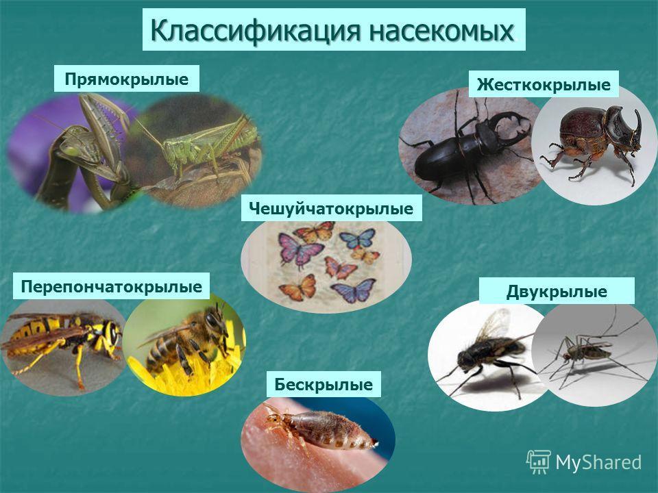 Картинки по запросу классификация насекомых