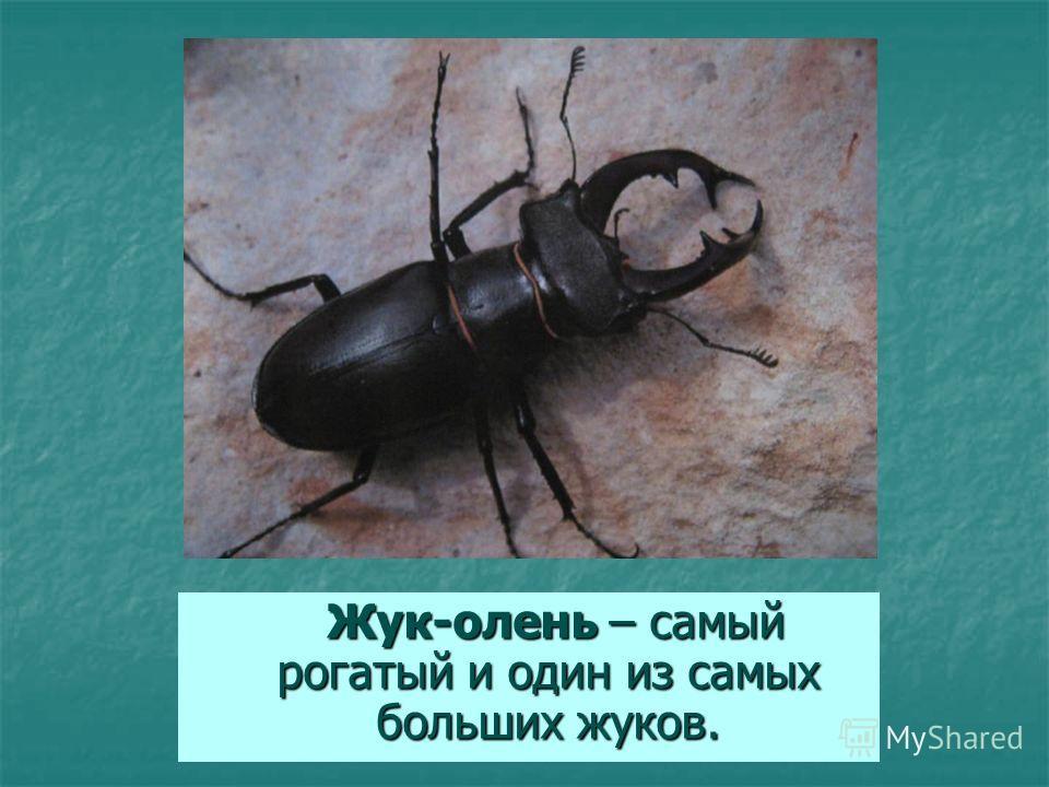 Жук-олень – самый рогатый и один из самых больших жуков. Жук-олень – самый рогатый и один из самых больших жуков.